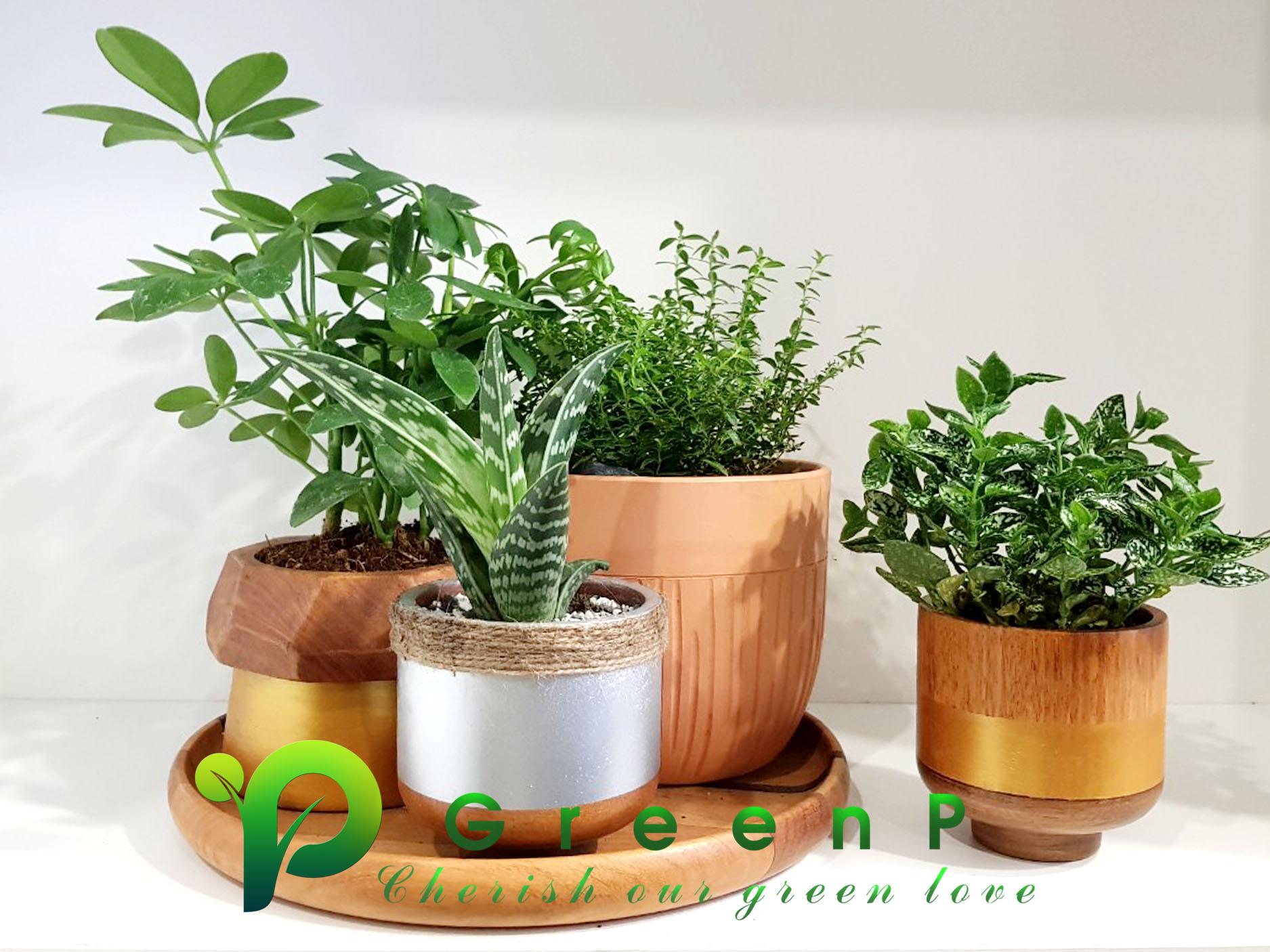 CHẬU HOA TRANG TRÍ - GREEN P